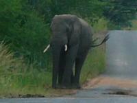 Highlight for album: Big Five South African Safari