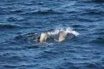 Later in the day our ship was surrounded by dozens of orca (killer whales) who were lazily swimming in the direction of a humpback..