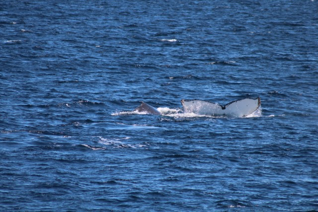 The humpback seemed distressed - I would be too!