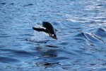 Although penguins are adorably awkward on land, that awkwardness disappears once they hit water.