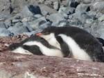Cuddling penguin cuteness!!  Photo Credit: Celena Votel