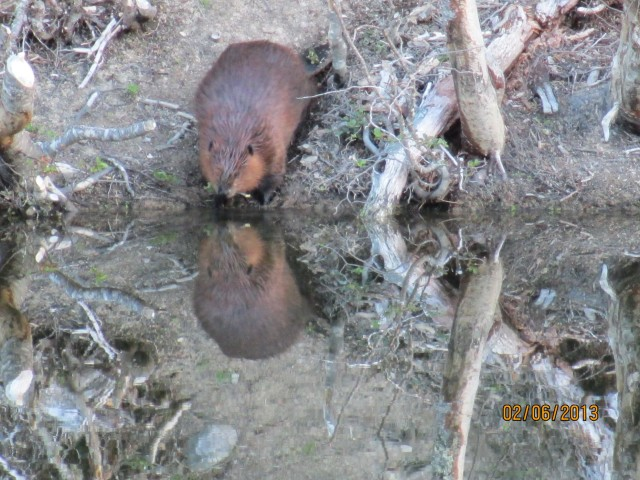 Beavers are not native to Ushuaia and have thrived since their introduction in the 1940s.