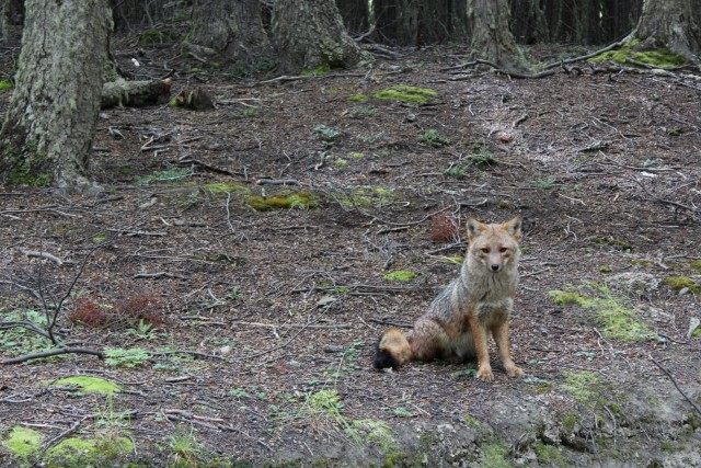"""We were lucky enough to get a visit by this Andean fox. After our trip when we tipped our tour guide he looked at us confused and then said """"For the fox??"""""""
