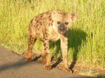 Just as we entered the park, we saw a pack of African Wild Dogs walking down the street towards us