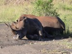 sleeping Rhinos