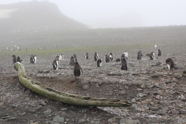 We found our first penguins! In the foreground here is a whale jawbone.