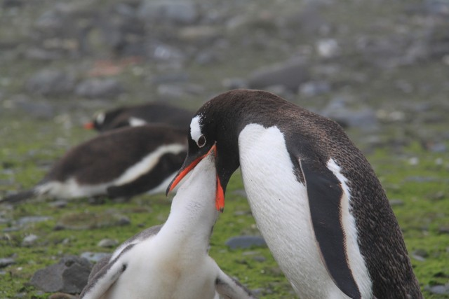 We arrived after the eggs were hatched and the penguin young were now adolescents. This guy is really getting up in there!  Photo Credit: Aurelie Reynard