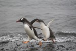 The penguins would chase each other around the beach, it was adorable!!  Photo Credit: Aurelie Reynard